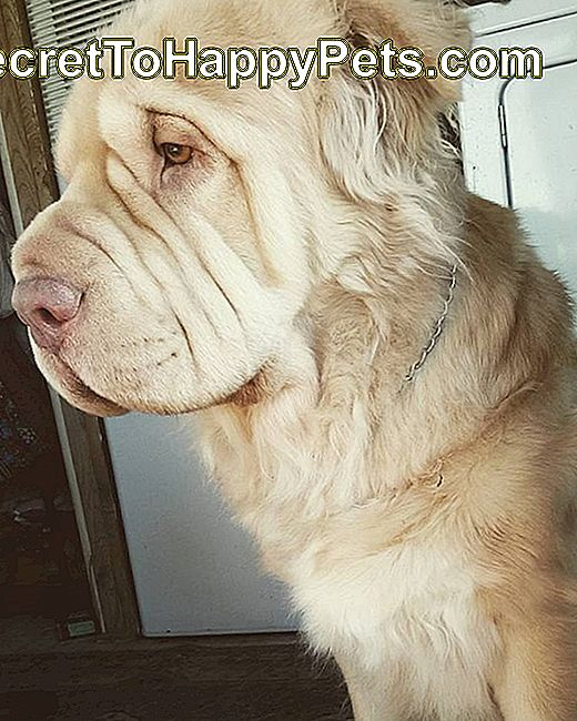 Shar Pei / Golden Retriever