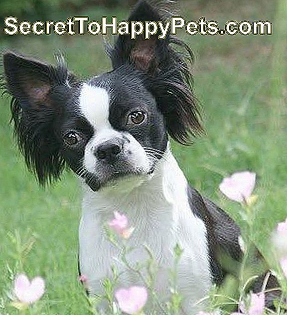 Boston Terrier / Papillon