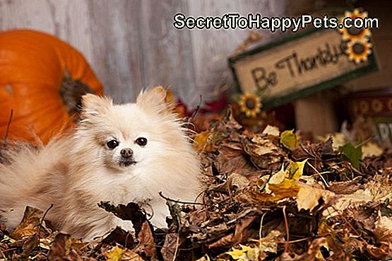 Pomeranian in the Leaves