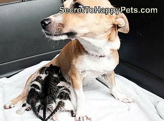 Mama Dog Adopting Orphaned Kittens Proves Moms Are Best