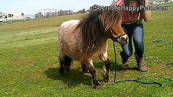 Video Catches Miniature Horse Dając Moonlight Pony Rides To The Dog Next Door
