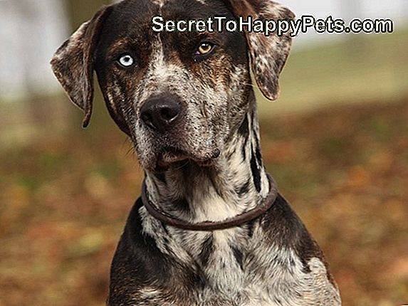 Sobre Catahoula-Great Dane Mixes