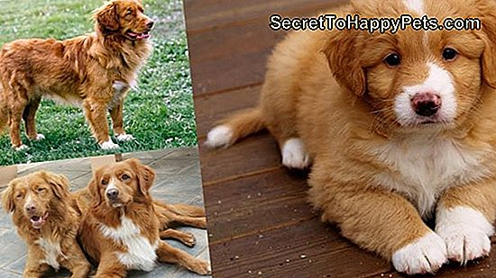 Nova Scotia Duck Tolling Retriever Dog Breed Feiten En Informatie