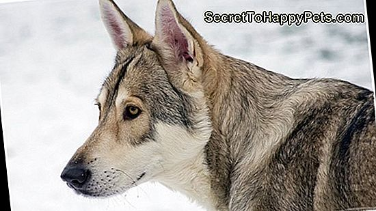 Saarloos Wolfdog Dog Breed Fakty I Informacje