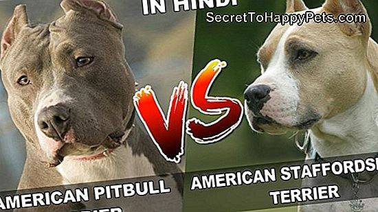 American Pit Bull Terrier Vs. American Staffordshire Terrier