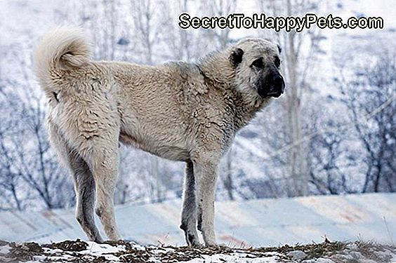 Anatolian Shepherd Dog Breed Fakten Und Informationen