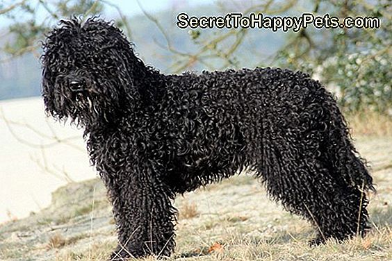 Barbet Dog Breed Fakty I Informacje