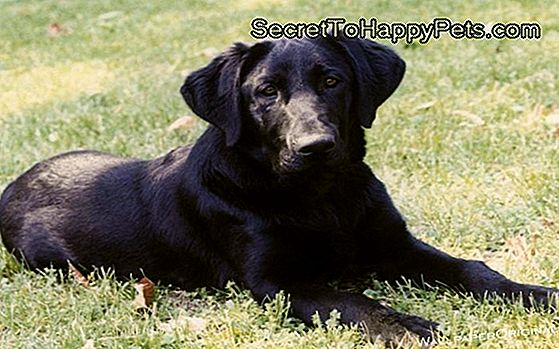Black Lab Dog Fakten