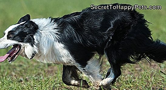 Informationen Zum Border Collie & Lab Mix