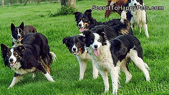 Border Collie Training Geheimnisse