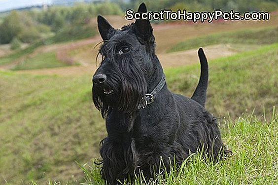 Cesky Terrier Dog Breed Fakten Und Informationen