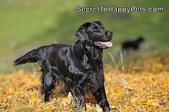 Flat Coated Retriever Dog Breed Fakten Und Informationen