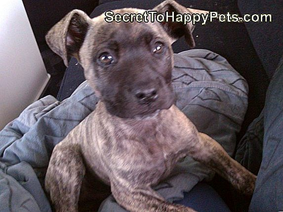 Informationen Zu Pit Bull Boxer Mix Dogs