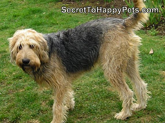 Otterhound Dog Breed Fakten Und Informationen