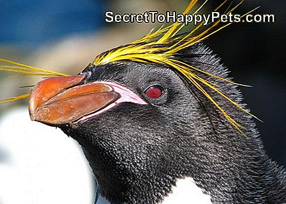 Macaroni Penguin Facts For Kids