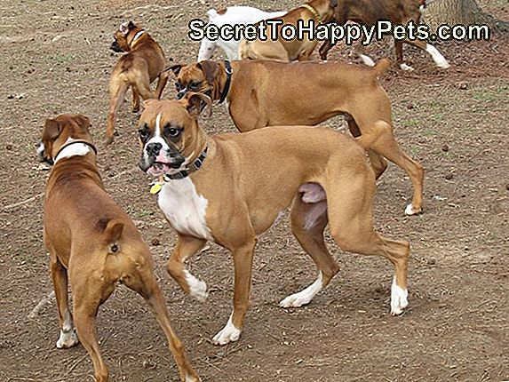 American Boxer Dogs Vs. Chiens Boxers Allemands