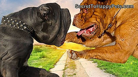 Dogue De Bordeaux Vs. Napoliten Mastiff