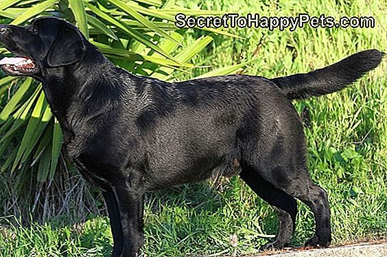 O Labrador Retrievery