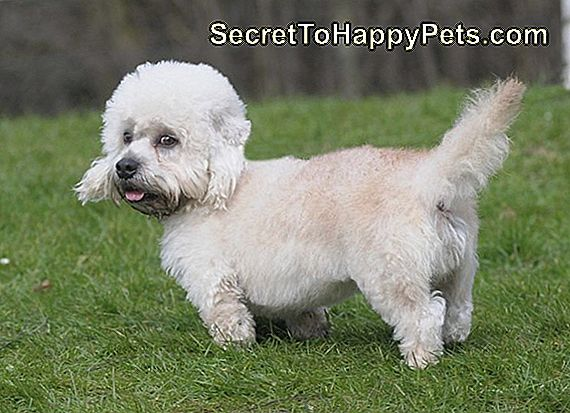 Dandie Dinmont Terrier Dog Breed Fakty I Informacje