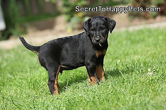 Jagdterrier Dog Breed Fakty I Informacje