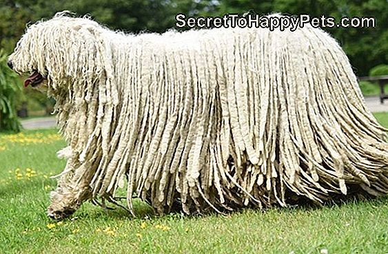 Komondor Dog Breed Fakty I Informacje