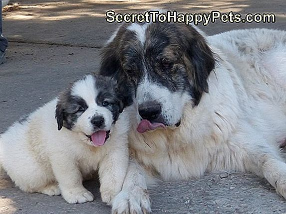 Pyrenean Mastiff Dog Breed Fakty I Informacje