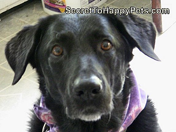 Tricks To Train A Black Lab Shepherd Mix