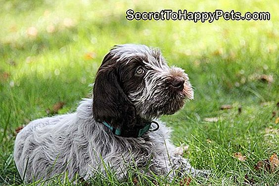 Wirehaired Pointing Griffon Dog Breed Fakty I Informacje