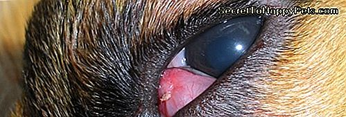 Czym Jest Cherry Eye In Dogs?