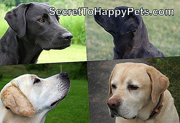 American Labrador Retriever Vs. Labrador Retriever