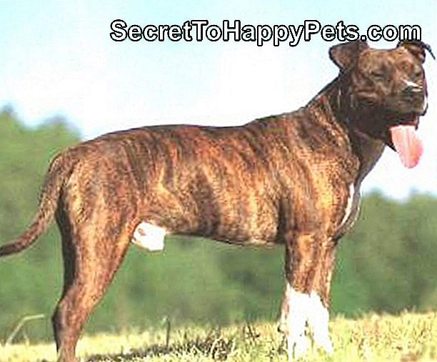 Au American Pit Bull Terriers La Westminster Dog Show?