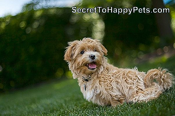 Norfolk Terrier Vs. Wheaten Terrier