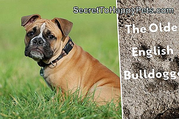Olde English Bulldogge Vs. English Bulldog