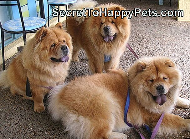 Chow Chow Dog And Hip Dysplasia