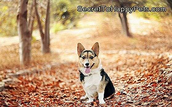 Fallen Log Leaves Corgi Stumped