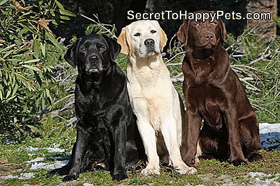 Om Labrador Retrievers