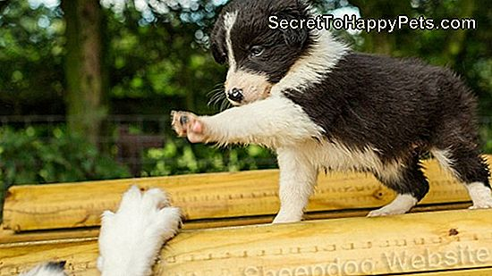 Border Collie Training Secrets