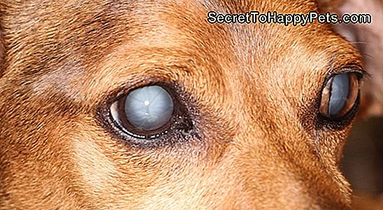 Canine Glaucoma Information
