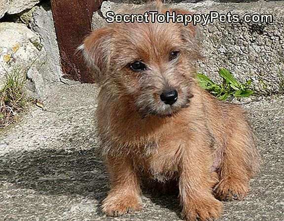 Norfolk Terrier Contre Wheaten Terrier