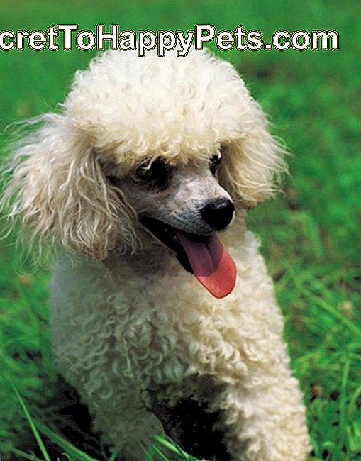 W What Age Do Poodles Zmień kolor?: poodles