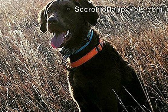 Chiensapeake Bay Retriever: Informations Sur La Race De Chiens