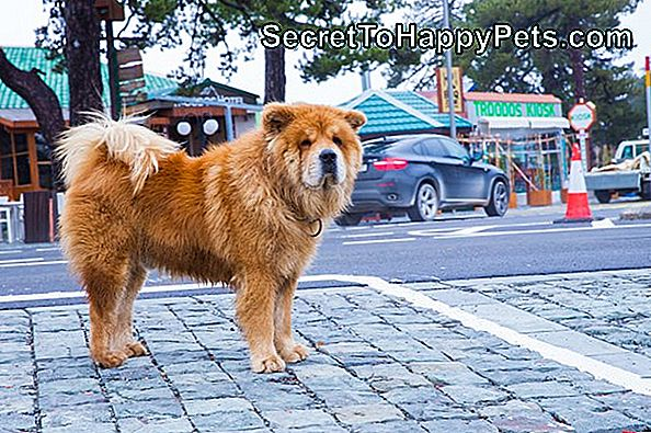 portret chow-chow