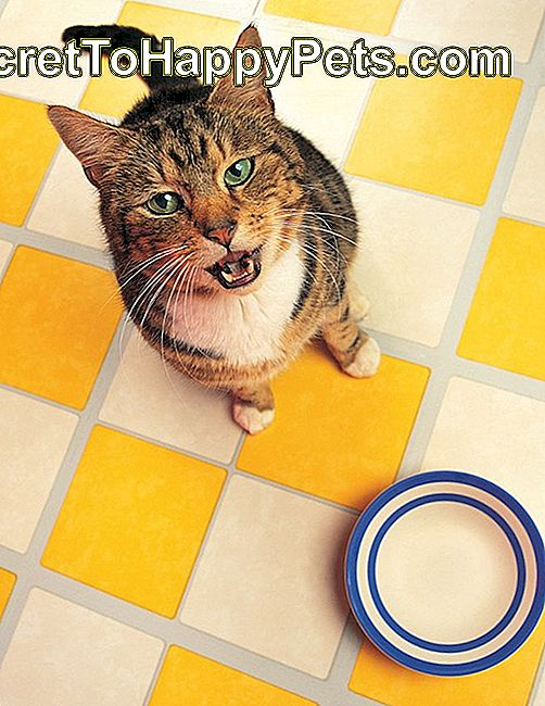 Hungry Tabby cat