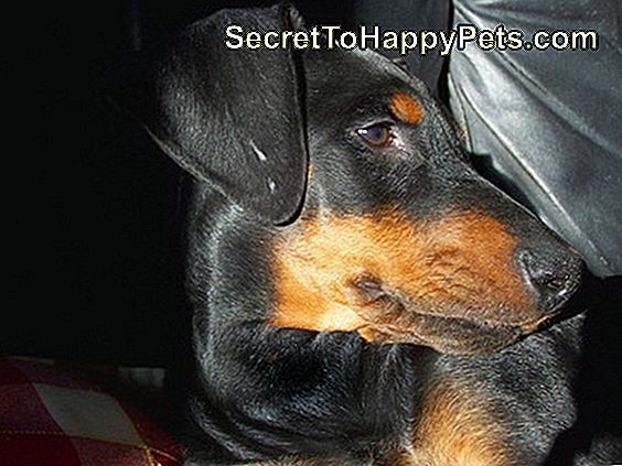 Home Remedies für juckende Hot Spots an einem Hund: remedies