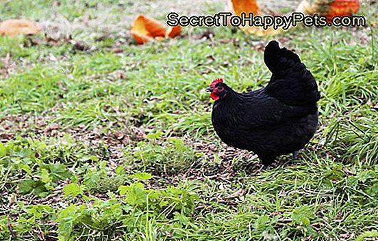 svart kycklingar video