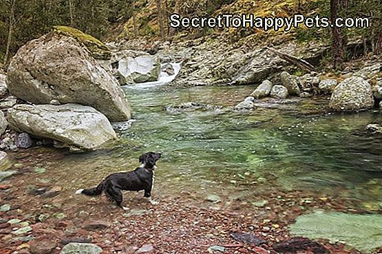 Border Collie psi paddles w Tartagine rzece w Corsica