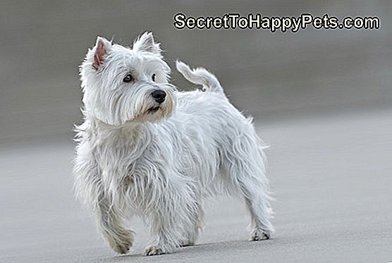 Belle femelle West Highland Terrier