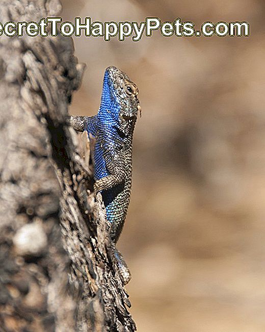 Lézard des clôtures occidentales au ventre bleu à Kings Canyon