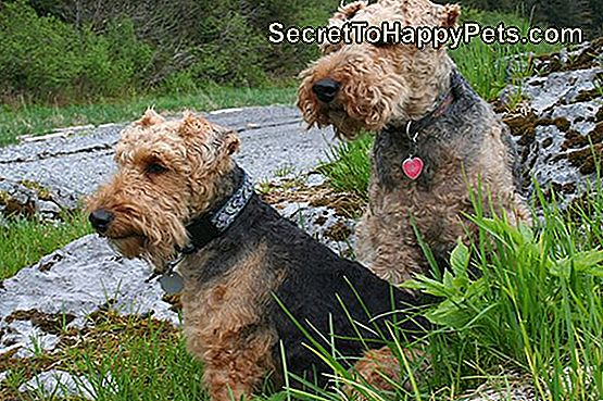 Lakeland Terriers Vs. Welsh Terriers