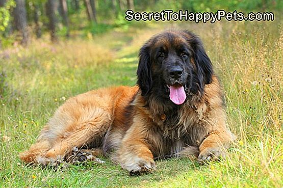 Chien Leonberger, portrait en plein air